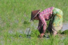 Frau auf den Reisgebieten von Myanmar Stockbild