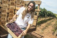 Frau auf einem Traktor in einem Weinberg Lizenzfreie Stockfotos