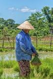Frau bei der Arbeit auf dem Reisgebiet Lizenzfreie Stockbilder