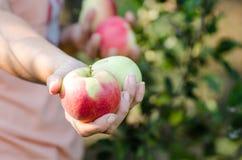 Frau bietet kürzlich geernteten Apfel im Garten an stockfotografie