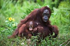 Frau der Orang-Utan mit dem Kind auf einem Gras. Lizenzfreie Stockbilder