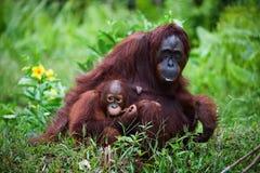 Frau der Orang-Utan mit dem Kind auf einem Gras. Lizenzfreies Stockfoto