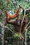 Frau der Orang-Utan mit einem Jungen. Lizenzfreies Stockfoto