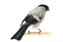 Frau des eurasischen Bullfinch Lizenzfreie Stockbilder