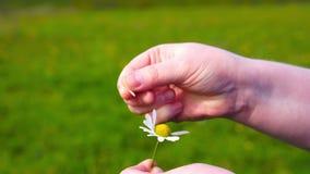 Frau, die auf einer Blume einer Kamille schätzt stock footage
