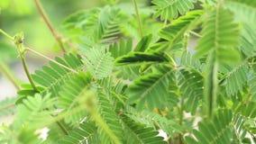 Frau, die Blätter der Schamhafte Sinnpflanze, der alias Mimose Pudica, der schläfrigen Anlage, Note-ich-nicht oder der schüchtern