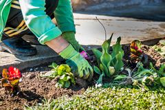 Frau, die Blumen pflanzt lizenzfreies stockfoto