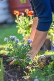 Frau, die bunte Frühlingsblumen im Yard pflanzt Lizenzfreie Stockfotografie