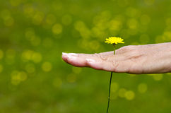 Frau, die in der Hand gelbe Frühjahrblume hält Stockfotografie