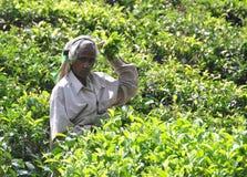 Frau, die in der Teeplantage arbeitet Stockfotografie