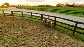 Frau, die die Shetlandinseln-Pony streichelt stock video footage