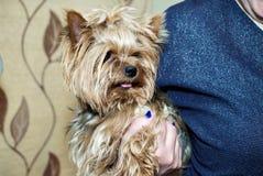 Frau, die ein Yorkshire Terrier in den Händen hält Lizenzfreies Stockfoto