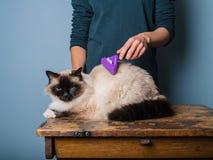 Frau, die eine birman Katze pflegt stockbild
