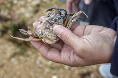 Frau, die eine Krabbe hält Stockfotografie