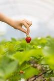 Frau, die eine saftige gebissene Erdbeere in die Kamera, strawber hält Stockbild