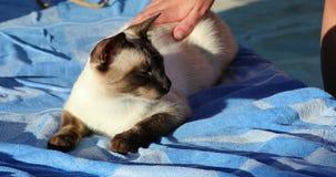 Frau, die eine siamesische Katze streichelt stock video