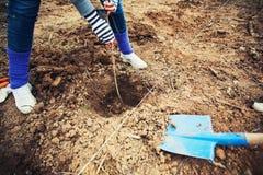 Frau, die einen Baum pflanzt Stockfotografie