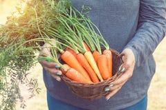 Frau, die einen Korb von frisch ausgewählten Karotten hält lizenzfreie stockbilder