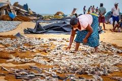 Frau, die Fische legt, um auf Negombo-Strand zu trocknen Stockfotos