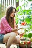 Frau, die frische Tomaten auswählt Stockbild