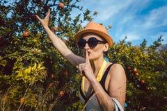 Frau, die Granatapfelfrucht vom Baum stiehlt Stockbild