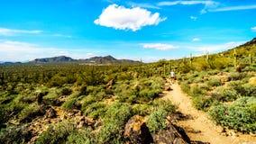 Frau, die halb durch die Wüstenlandschaft des Usery-Gebirgsregionalen Parks mit vielen Saguaru, Cholla und Fass-Kakteen wandert lizenzfreie stockfotos