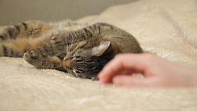 Frau, die ihr reizendes eine nette Schlafenkatze streicht stock footage