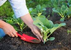 Frau, die im Garten arbeitet. Pflanzen des Kohls. Lizenzfreies Stockbild