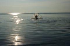 Frau, die im See im Sonnenuntergang spritzt Lizenzfreies Stockbild