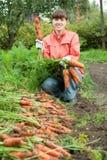 Frau, die Karotten erntet Stockfotografie