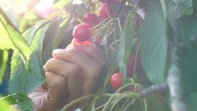Frau, die Kirschen am Garten auswählt stock video footage