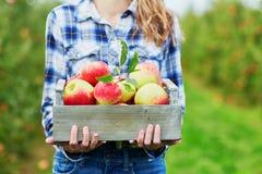Frau, die Kiste mit reifen organischen Äpfeln auf Bauernhof hält Stockfotos