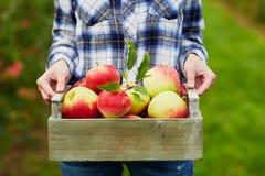 Frau, die Kiste mit reifen roten Äpfeln auf Bauernhof hält Stockfotografie