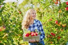 Frau, die Kiste mit reifen roten Äpfeln auf Bauernhof hält Lizenzfreie Stockfotos