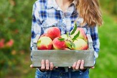 Frau, die Kiste mit reifen roten Äpfeln auf Bauernhof hält Stockfotos