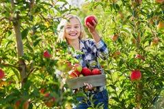 Frau, die Kiste mit reifen roten Äpfeln auf Bauernhof hält Stockbilder