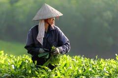 Frau, die an Mangrovenbauernhof arbeitet Stockfotos
