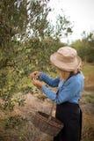 Frau, die Oliven vom Baum erntet Lizenzfreies Stockbild