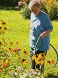 Frau, die prachtvolle Gänseblümchen wässert Stockbild