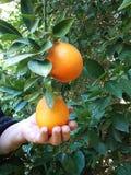 Frau, die reife Orangen hält Lizenzfreie Stockfotografie