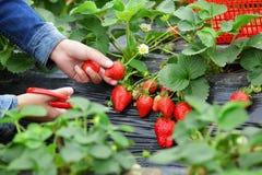 Frau, die rote Erdbeere auswählt Stockbild