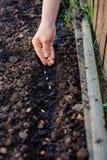 Frau, die Samen im Garten pflanzt Stockbild