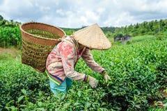 Frau, die Tee erntet Stockfoto