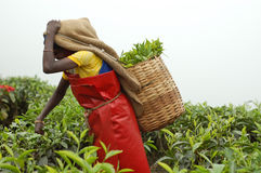 Frau, die Teeblätter aufhebt Stockbild