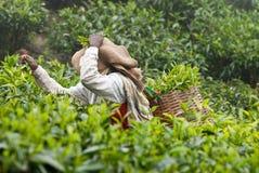 Frau, die Teeblätter aufhebt Stockfotos