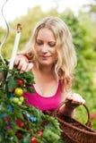 Frau, die Tomaten erntet Lizenzfreie Stockfotografie