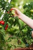 Frau, die Tomaten im Garten erntet stockfotografie
