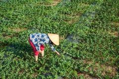 Frau, die an Wassermelonenfeld arbeitet Stockfotografie