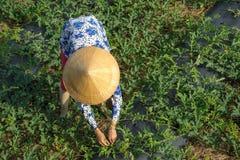 Frau, die an Wassermelonenfeld arbeitet Lizenzfreies Stockbild