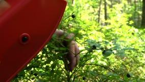 Frau, die wilde Beeren unter Verwendung einer speziellen Erntemaschine im Nationalpark-Wald auswählt stock footage